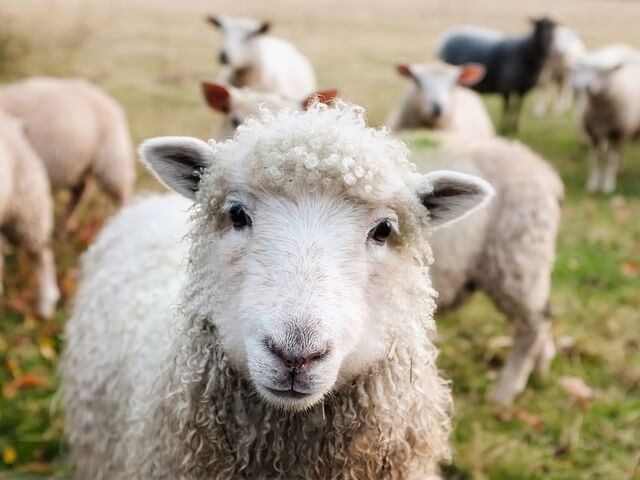 なぜ寝る時に羊を数えるのか